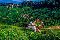 A woman picks tea at a tea plantation in the foothills of the Himalaya mountains, Darjeeling, West Bengal, India