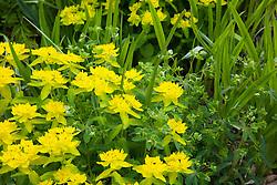 Euphorbia polychroma with crocosmia foliage