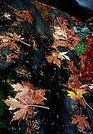 Fallen leaves on the banks of the Merced River in Yosemite National Park.