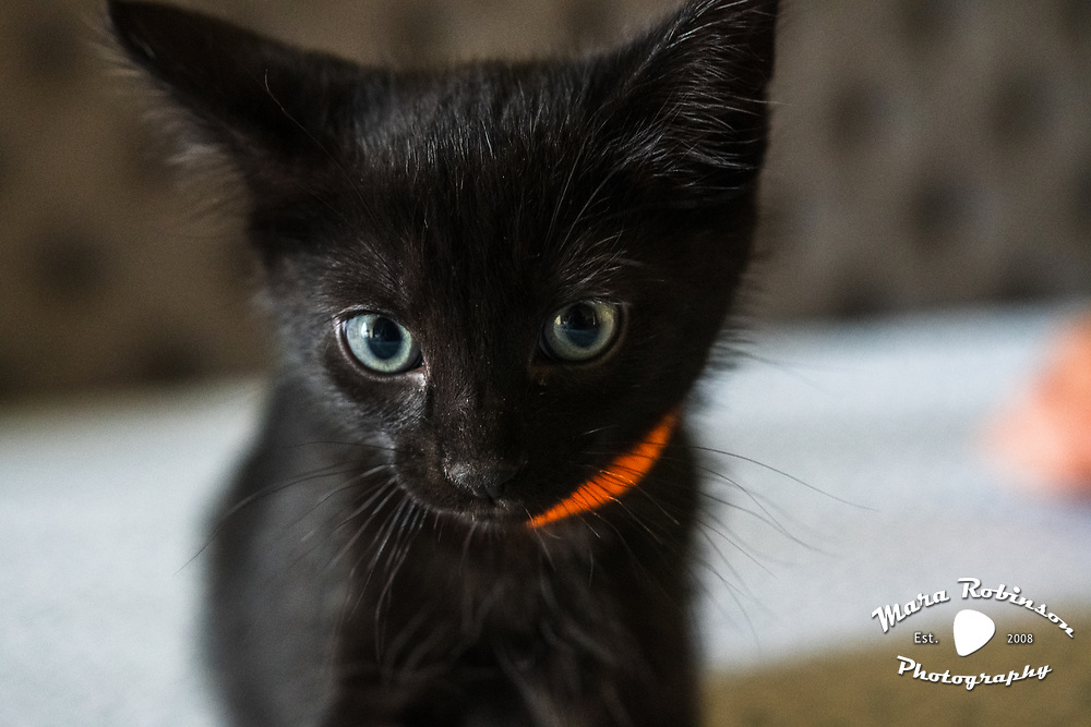 Black Foster Kittens by Mara Robinson Photography