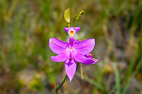 A beautiful specimen of the common grass pink orchid in the Apalachicola National Forest.