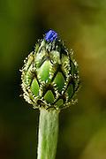 Israel, Atractylis phaeolepis