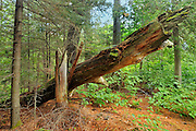 Old growth pine forest in White Bear Forest <br /> Temagami<br /> Ontario<br /> Canada