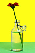 one Gerbera flower standing in a glass bottle jar with water