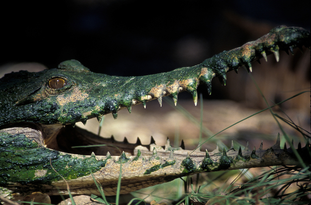 Australia, Northern Territory, Young Saltwater Crocodile (Crocodylus porosus), covered with algae, in Adelaide River (C)