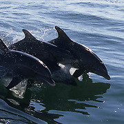 Bottlenose Dolphin, (Tursiops truncatus) Jumping in Sea of Cortez, Mexico.