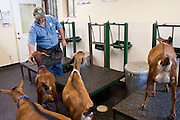 July 26, 2008 -- SNOWFLAKE, AZ: DAVID HEININGER, co-owner of the Black Mesa Ranch, brings some of the Nubian dairy goats into the milking parlor at the ranch. Black Mesa Ranch is a 280 acre spread in the high desert near Snowflake, AZ. The ranch owners, David and Kathryn Heininger, run a herd of about 40 Nubian dairy goats and hand make artisan cheese from the goat's milk. It's a second gear for them, they retired from Tucson, AZ, where they bought and renovated  historic homes. The moved to the ranch in 2001 and started making and selling cheese shortly after the move. Their cheese is used in expensive restaurants in Phoenix and sold at natural food stores in Arizona. PHOTO BY JACK KURTZ