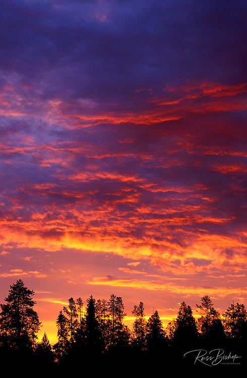 Silhouetted pines against pink clouds at sunrise, Grand Teton National Park, Wyoming