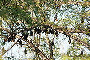 Madagascar fruit bat or flying fox, Pteropus rufus, Berenty National Park, Madagascar, group roosting in tree