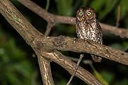 Sulawesi Scops Owl (Otus manadensis) from Tangkoko NP, northern Sulawesi, Indonesia.