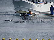 EXCLUSIVE <br /> Caught on Camera how Japans Dolphin killers capture these loving animals,Striped Dolphin's corned and captured for Slaughter <br /> <br /> Japan,  9 of the ruthless hunting vessles found a very large pod of striped dolphins.  After putting up a very long fight, with many family members escaping, the unfortunaterest of the pod was fatigued and unable to continue the fight and sadly the murderers of Taiji were able to slaughter between 34-36 striped dolphins.<br /> This was the 21st drive/slaughter of 2016 and the 40th for the entire season.<br /> <br /> Photo shows: Killers use their motors to push the dolphins closer to the cove.<br /> ©Sea Shepard/Exclusivepix Media