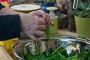 Unidentified Woman is washing freshly picked edible green Spinach (Spinacia oleracea) leafs