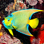 Queen Angelfish inhabit reefs and surrounding areas in Tropical West Atlantic; picture taken Key Largo, FL.