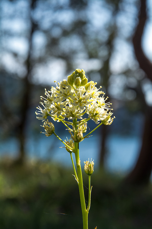 With the reputation of being the plant that has killed more people in the Pacific Northwest than any other plant ever will, the death camas is a rather plain-looking, white-flowered member of the bunchflower family that often grows in and among the historically significant common camas, which has been used as a food source for centuries, if not millennia. The corm (think of something similar to a tulip or daffodil bulb) of the common blue-flowering camas was an extremely important food source for the native peoples and settling pioneers, and when dug up when not in flower, the nutritious common camas corm and the highly poisonous death camas corm are virtually indistinguishable. This was one of hundreds found and photographed among the edible common camas on Fidalgo Island in Anacortes, Washington on a mid-April afternoon almost at the very edge of the high cliffs overlooking Rosario Strait.