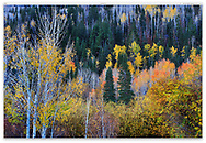 Autumn colors along the drive to the top of Grand Mesa near Grand Junction, Colorado, USA