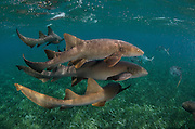 Nurse Shark (Ginglymostoma cirratum) & Horse-eye Jacks (Caranx latus)<br /> Shark Ray Alley<br /> Hol Chan Marine Reserve<br /> Belize Barrier Reef<br /> near Ambergris Caye and Caye Caulker<br /> Belize<br /> Central America