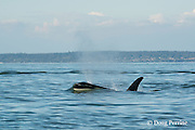 transient orca or killer whale, Orcinus orca, surfacing between the San Juan Islands, Washington, United States and the Gulf Islands off the east coast of Vancouver Island, British Columbia ( BC ), Canada; pushes up a bow wake, creating a liquid aquarium through which the whale's face can be seen