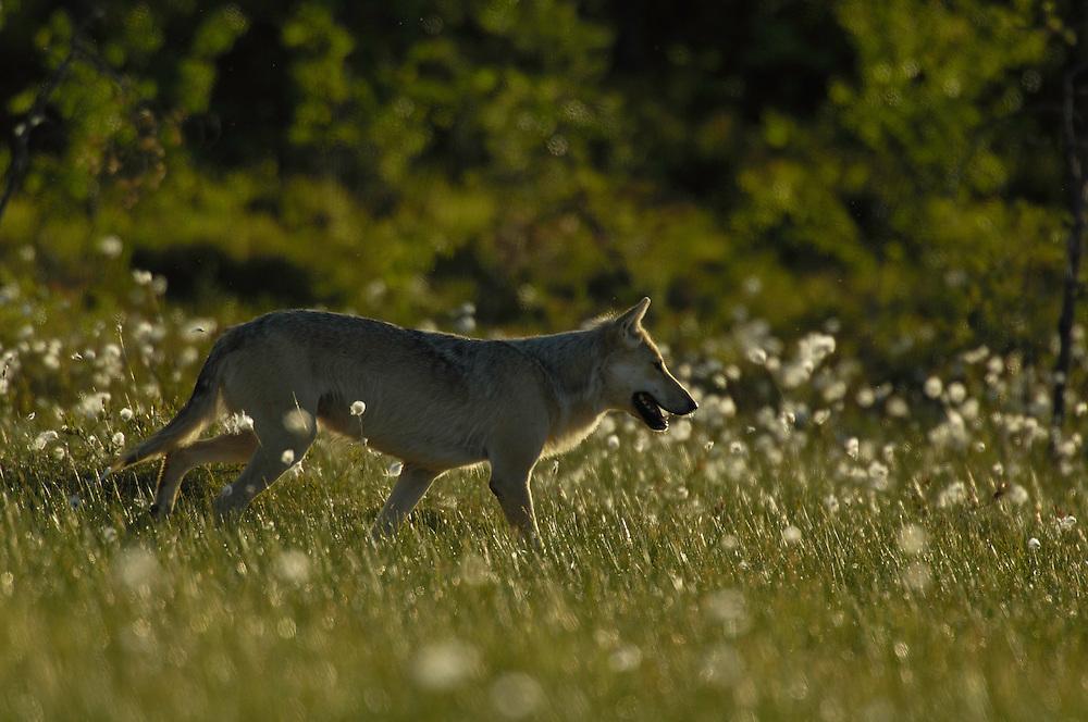 Eurasian wolf; Canis Lupus; Finland