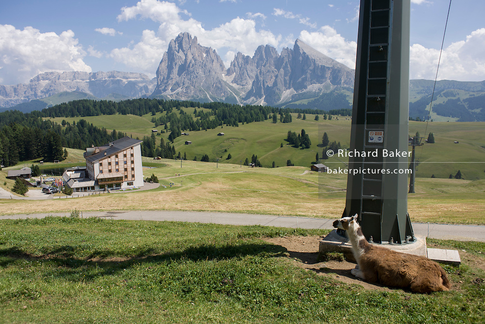 Skiing hotel in summer and resting lama on the Siusi plateau, above the South Tyrolean town of Ortisei-Sankt Ulrich in the Dolomites, Italy.