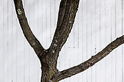 Tree trunk and branches against a white barn.