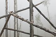 Fallen, broken aspen (Populus tremuloides) trees in heavy fog, Lost Creek Wilderness