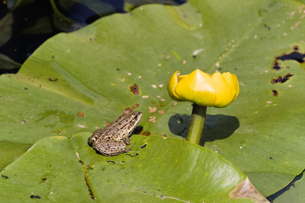 little frog and Water Lily, Nuphar luteum, Backwater of Latorica River, Eastern Slovakia, Europe, Frosch und Gelbe Teichrose, Nuphar luteum, Latorica Altwasser, Slowakei, Europa