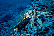 hawksbill sea turtle, Eretmochelys imbricata, dismantles coral head to get at invertebrate prey inside, Layang Layang Atoll, Malaysia  ( South China Sea )