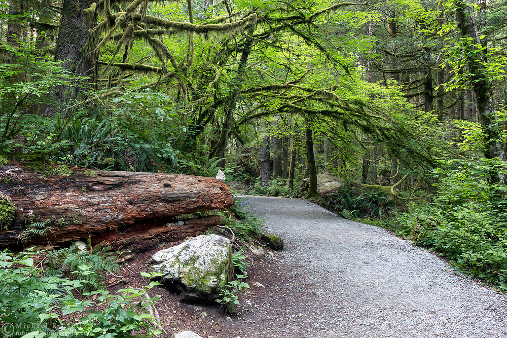 """This log has had rocks added to it to make it look a bit like a dragon for as long as I can remember - though it usually has one for an eye as well. This """"dragon"""" is on the Lower Falls Trail in Golden Ears Provincial Park in Maple Ridge, British Columbia, Canada. The overhanging trees in the background are Vine Maples (Acer circinatum)."""