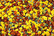 Ceremonial marigolds for garlands and religious ceremonies at Mehrauli Flower Market, New Delhi