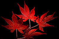 Japanese Maple Leaves on a Black Background