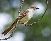 Ash-throated fly catcher, Rio Grande Nature Center, Albuquerque, New Mexico