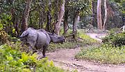 Indian rhinoceros (Rhinoceros unicornis) walking the road in Kaziranga National Park, Assam, north-east India.