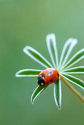 Ladybird on lupin foliage