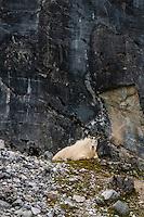 Mountain foats on cliffs, Glacier Bay National Park, southeast Alaska USA. It is a UNESCO Wolrd Heritage Site.