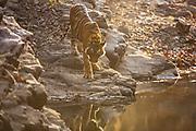 A Bengal tiger (Panthera tigris tigris)  is reflected in water as it approaches a water hole,Ranthambhore National Park, Rajasthan, India,