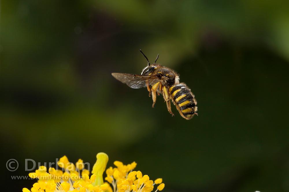 A leaf-cutter bee (anthidium sp.) pollinating a flower in western Oregon. © Michael Durham / www.DurmPhoto.com
