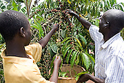 Patrick Kajjura and Albert, one of his eight sons, pick their coffee beans that are ready for drying before going to the Kulika centre to be sold to Ibero Coffee. Their coffee plants are in the Kamuli region of Uganda. The Kulika project run Sustainable Organic Agricultural Training Programs.