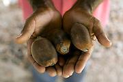 Codo_ MA, Brasil ..Castanha do coco de babacu  na comunidade de Boqueirao dos Vieiras...Nuts of the babacu coconout in comunity Boqueirao dos Vieiras...Foto: LEO DRUMOND /  NITRO