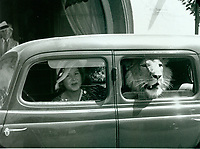 1936 A lion in a car in front of the Brown Derby in Hollywood