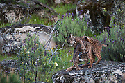 Iberian Lynx (Lynx pardinus) female & male one year old offspring with GPS tracking collar. She is rebuffing him as it is time for him to move out of her territory as she now has a new little of cubs.<br /> Sierra de Andújar Natural Park, Mediterranean woodland of Sierra Morena, north east Jaén Province, Andalusia. SPAIN<br /> RANGE: Iberian Penninsula of Spain & Portugal.<br /> CITES 1, CRITICAL - DANGER OF EXTINCTION<br /> Fewer than 200 animals in the wild. There is a reduced genetic variability due to their small population. They have suffered due to hunting, habitat loss and road accidents, but the most critical threat today is the reduced numbers of wild Rabbits (Oryctolagus cuniculus) within the lynx's range. The rabbits are the principal food source of the lynx and they are suffering from deseases such as Myxomatosis & Rabbit haemoragic virus. The lynx is also suffering from deseases such as feline leukaemia<br /> A medium sized cat weighing 12-15kgs, Body length 90cm, Shoulder height 45-50cm. They have a mottled fur pattern, (3 varieties of fur pattern found between the different populations and distinguishing them geographically)  short tail, ear tufts and are bearded. They are territorial cats although female cubs have been found to share their mother's territory. Mating occurs in Dec/Jan and cubs born around April. They live up to 13 years.<br /> <br /> Mission: Iberian Lynx, May 2009<br /> © Pete Oxford / Wild Wonders of Europe<br /> Zaldumbide #506 y Toledo<br /> La Floresta, Quito. ECUADOR<br /> South America<br /> Tel: 593-2-2226958<br /> e-mail: pete@peteoxford.com<br /> www.peteoxford.com