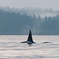A large male transient killer whale (Orcinus orca) exposes his six foot dorsal fin, just offshore at Golden Gardens, Seattle, Washington. Transient orcas are mammal eaters, dining primarily on seals and sea lions. Photo by William Drumm.