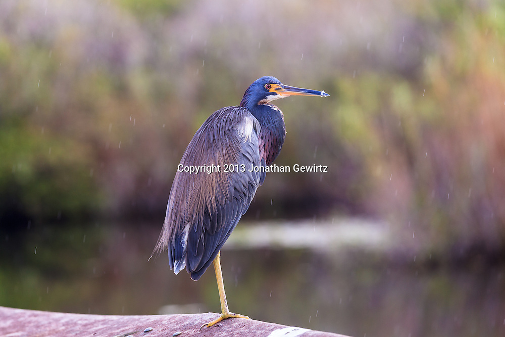 A Tricolored Heron (Egretta tricolor) perches in the rain on a handrail at the Anhinga Trail on Taylor Slough in Everglades National Park, Florida. WATERMARKS WILL NOT APPEAR ON PRINTS OR LICENSED IMAGES.