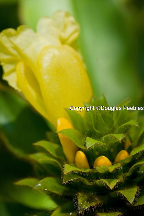 Ginger, Hawaii Tropical Botanical Garden, Onemea, Hamakua coast, Island of Hawaii