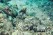 cleaner wrasse, Labroides dimidiatus, picks parasites from crocodilefish, Cymbacephalus beauforti, camouflaged on bottom, Mabul Island, off Borneo, Sabah, Malaysia<br /> ( Celebes Sea )