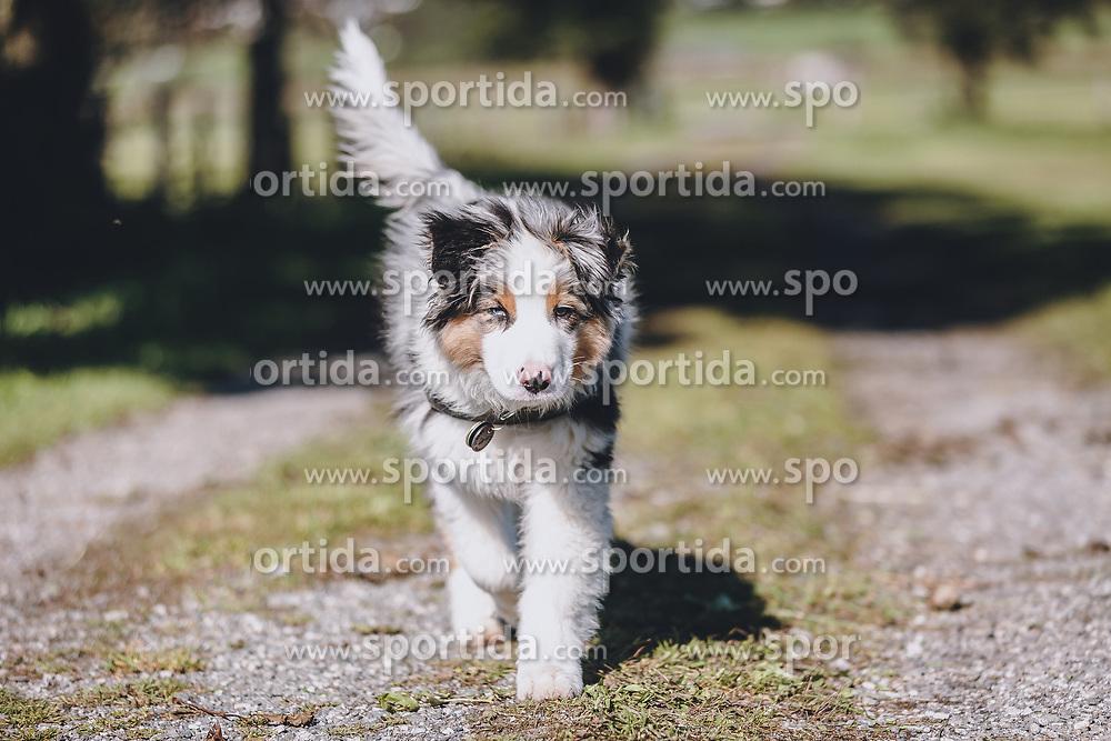 THEMENBILD - ein Hundwelpe (Australian Shepherd ) geht auf einem Feldweg, aufgenommen am 08. Oktober 2020, Kaprun, Österreich // on 2020/10/08, Kaprun, Austria. EXPA Pictures © 2020, PhotoCredit: EXPA/ Stefanie Oberhauser