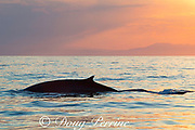 fin whale, Balaenoptera physalus, at sunset, with Maritime Alps in background, Ligurian Sea, Mediterranean Sea, Liguria, Italy