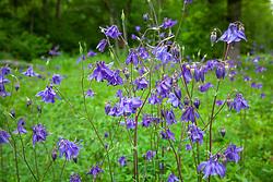 Wild Columbine. Aquilegia vulgaris