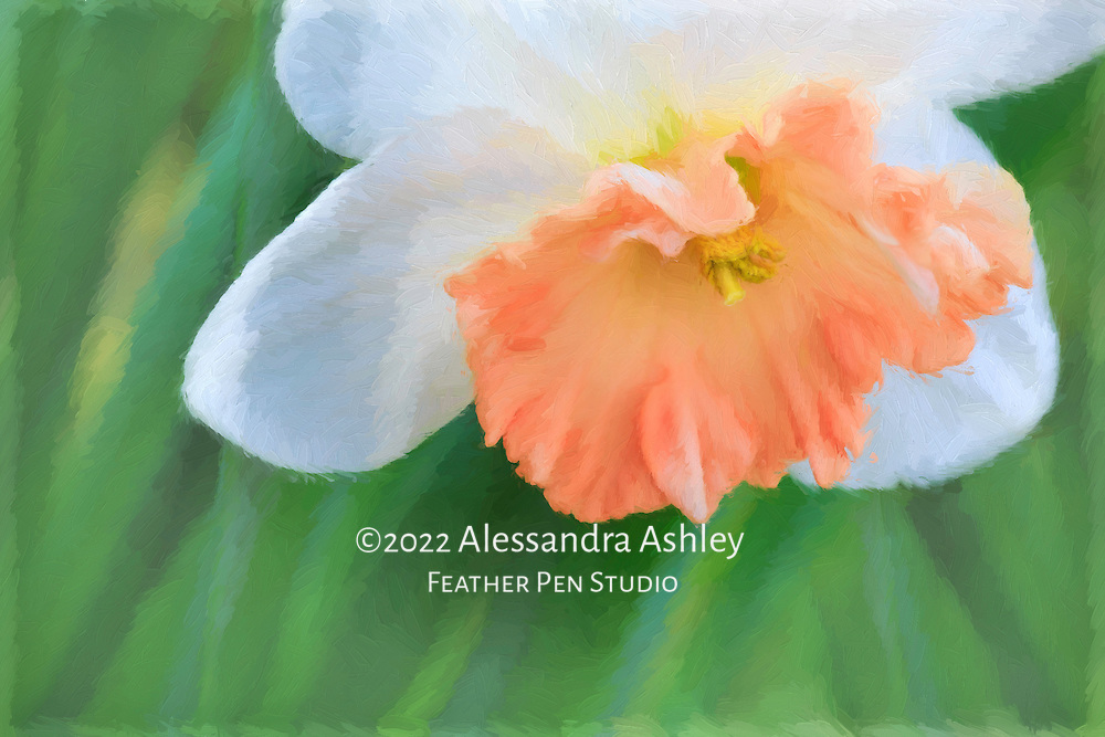 Single flat-cupped pink daffodil with white petals and foliage. Oil paint effects blended with original photograph.