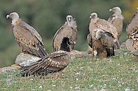 Lammergeier; Gypaetus barbatus and Griffon vulture; Gyps fulvus, Serra de Beumort, Gerri de la Sal, Catalonia, Spain.