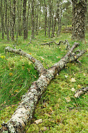 Rotting branch of silver birch tree in forest in Boat of Garten, Cairngorms National Park, Scottish Highlands, Uk